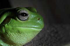 Smiler (PommieDad) Tags: frog green treefrog australian whitestreefrog australiangreentreefrog dumpytreefrog litoriacaerulea smile eye platinumheartaward nikon flickrexplore