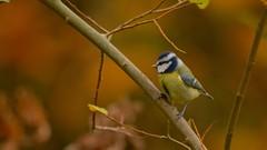 Autumn Tit (J @BRX) Tags: goldenacrepark bramhope leeds yorkshire england uk november2016 autumn colours orange yorkshirewildlifetrust bird bluetit tit tits