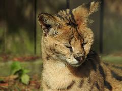 DSCN6704 (Ronae2987) Tags: luchs eurasischerluchs lynx nordluchs raubtier predatoryanimal zoo