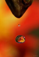 es tropft  / its dripping (7) (Ellenore56) Tags: 11102016 estropft regentropfen itsdripping raindrop raindrops drip drippy rainy rain wet raininess tropfen drop drops trpfchen droplet wassertropfen waterdrops wasser water h2o wetter weather dahlie dahlia blume flower blte pflanze plant garten garden botanik botanical flora pflanzenwelt oktober florescense natur nature bokeh textur texture detail makro macro moment augenblick sichtweise view perception perspektive perspective reflektion reflection reflexion farbe color colour licht light inspiration imagination faszination magic magical sonyslta77 ellenore56 szene scene sequence scenario aqua