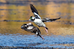 Bufflehead pair take flight (danielusescanon) Tags: gunnerlake bif bird buffleheadduck bucephalaalbeola birdperfect animalplanet flying