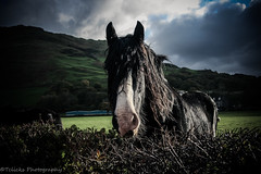 Shire Horse (Tclicks Photography) Tags: horse shire wales outdoors beauty beautiful walk countryside country friendly curious happy animal