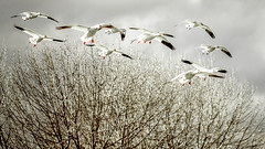 birds in winter (michaelinvan) Tags: winter tree twigs branch wind bird flying snow goose light sun sunny canada vancouver richmond migrate white red wings hovering gliding flock canon 5d 135mm f2 prime lens boken cold nature migration dof bokeh