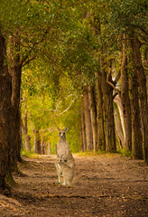 Roo-heaven_DSC2077 (Mel Gray) Tags: morisset kangaroo baby roo babyroo trees pictorial nikon