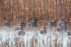 Imposters (Melinda G Pix) Tags: hunting hunt hunter fooledme fakes decoys geese