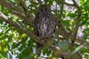 Barking Owl_Tondoon_24112016 (Teale Britstra) Tags: gladstone australia macrokosmcom 55250mm australian canon native kitlens female birdofprey barkingowl tondoon wildlife bird centralqueensland tealebritstra nature white brown 600d queensland ninox ninoxconnivens tondoonbotanicgardens barkingboobook diurnal macrokosm nocturnal owl raptor t3i winkingowl