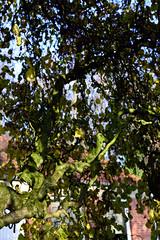 Schlossgarten Mnster Nov. 2016_20 (dcs 0104) Tags: schloss johann conrad schlaun westflischewilhelmsuniversitt universitt mnster nikon d3100 d800 nikkor 50 50mm 18 g 55300 55300mm 3556 vr flora baum strauch blatt arbre arbuste heester bush busch feuille leaf himmel sky ciel hemel botanischergarten garten garden jardin tuin herfst herbst autumn automne deutschland westfalen westfalia duitsland allemagne germany
