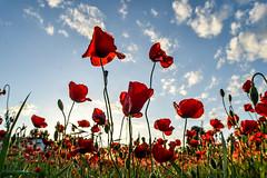 #campo #amapolas #primavera #fuenteelsaz #vivir #colores #atardecer #APphoto (adrianprieto2) Tags: colores fuenteelsaz apphoto atardecer amapolas vivir primavera campo