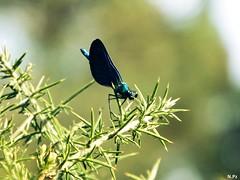Cabaliño do demo - Dragonfly (N.Pz) Tags: dragonfly libelula cabaliñododemo insect insecto blue azul closeup cerca primerplano contrast contraste nature naturaleza natureza rama branch