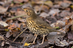Song Thrush (keith.gallie) Tags: song thrush nikon d7200 pennington flash nature reserve outdoors birdwatching birder