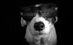 Dog with sunglasses (Morgane T) Tags: dog chien lunettes de soleil sunglasses studio noir et blanc black white dark sombre darkness