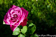 The Rose (ScopiePhotography) Tags: flower rose plant pretty pink leaf grass thirds vibrant colour colours