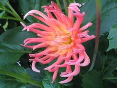 Dahlien (t1p2m3) Tags: dahlien blume fleur flower rosa