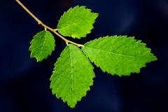 Leafy greens (vinnie saxon) Tags: leaf leaves green vibrant blur bokeh nature autumn macro closeup colors nikoniste nikon d600 creative