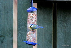 Mr Blue comes to visit (mootzie) Tags: winterdecember colourfulfeathers bird wildlife nature blue tit garden feeding nuts yellow cute aberdeenshire scotland