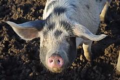 Oink! Oink! (Blue Sky Pix) Tags: pigs gloucestershireoldspot farm animals friendly comical bacon derbyshire england pentax christmas2016