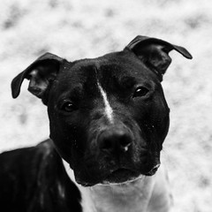 Chevy03Dec1600042-Edit.jpg (fredstrobel) Tags: dogs pawsatanta phototype atlanta blackandwhite usa animals ga pets places pawsdogs decatur georgia unitedstates us