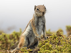 Barbary Ground Squirrel / Atlashrnchen (Atlantoxerus getulus) (ralph_behrens) Tags: barbary groundsquirrel atlashrnchen atlantoxerusgetulus fuerteventura kanarischeinseln canaryisland olympus oly olympusomdem1 300mmf4pro em1 mft jandia squirrel