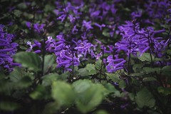 Lavenders (Syahrel Azha Hashim) Tags: flowers purple sony 2016 shallow holiday nopeople malaysia magenta details a7ii lavender ilce7m2 dof bokeh getaway handheld colorimage vacation prime light garden naturallight frasershill colorful beautiful travel syahrel 35mm sonya7 colors leafs bloom pahang simple detail