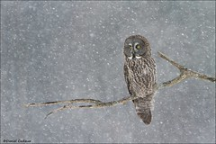 Great Gray Owl in Snowstorm (Daniel Cadieux) Tags: owl greatgrayowl greatgreyowl snow winter snowstorm ottawa cold perch perched canada