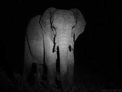 Ghostly Elephant (alex props) Tags: masaimara kenya nightsafari elephant