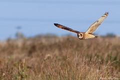 Short-eared Owl-9503 (kevinmayhew62) Tags: asioflammeus shortearedowl