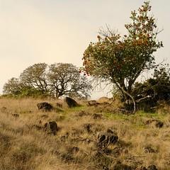 Heteromeles arbutifolia CHRISTMAS BERRY, TOYON (openspacer) Tags: heteromeles jasperridgebiologicalpreserve jrbp rosaceae shrub toyon