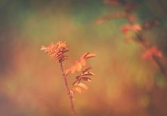 A lost shrub (evibaumann) Tags: strauch fujixt10 helios402 natur blume