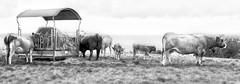 vacas (www.infografiagijon.es) Tags: wwwinfografiagijones infografia gijon astur asturias asturies xixon otoo campo setas mushroom bosque dark oscuridad nature naturaleza hernancad blanco negro black white bw bn canon eos5d markii vaca cow pastando