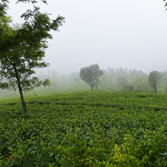 Tea Plantations (code_martial) Tags: d3300 1685mmf3556gvr ooty2016 coonoor