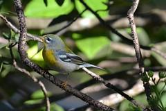 Northern Parula (bmasdeu) Tags: warblers northern parula birds southern region florida tropical wildlife nature