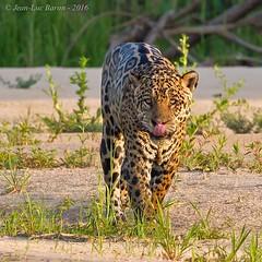 Jaguar (Panthera onca) (Jeluba) Tags: 2016 brazil brsil canon jaguar matogrosso pantanal nature wildlife flin mammal animal mammifre pantheraonca