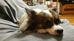 Oliver the Papillon