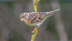 JWL3814  Brambling.. (jefflack Wildlife&Nature) Tags: brambling bramblings birds avian animal wildlife wildbirds woodlands finch finches songbirds hedgerows gardenbirds farmland countryside nature