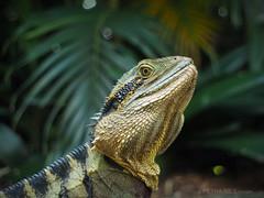 Waterdragon (Petra Ries Images) Tags: pentacon29mmf28 waterdragon australischewasseragame reptil agame dragon vintagelens animals
