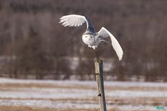''SOUVENIR!'' harfang des neiges/ Snowy  owl (pascaleforest) Tags: winter canada qubec harfangdesneiges owlsnow oiseau bird animal prdateur predotor nature passion nikon hiver snow neige souvenir