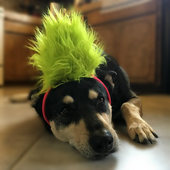 The Reluctant Troll (A Wild Western Heart) Tags: fiona troll dog rescue perro chien hun cane hond hair green