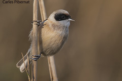 Teixidor, Pájaro moscón, Penduline Tit (Remiz pendulinus) (Carles Pibernat) Tags:
