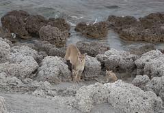 Chile (richard.mcmanus.) Tags: chile torresdelpaine puma bigcat wildlife mcmanus animal lake rocks southamerica