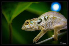 L'endormi (pierre-eric campos) Tags: pentax k3 chameleon reunion lizard