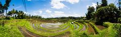 Arrozales de Blimbing (fns-k) Tags: agricultura arroz asia bali campo campos cereales españa europa gusto indonesia islasbaleares mallorca panorámica sentidos