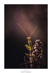 L'bahi (Naska Photographie) Tags: naska photographie photo photographe paysage proxy proxyphoto macro macrophotographie macrophoto extrieur insectes mante religieuse mantidae nature sauvage forest foret fleur flower bokeh color couleur tonnement surprise habi tonn