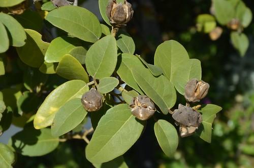 DSC_3139 seed capsules of Lagunaria patersonia (Malvaceae), Halifax Street, Adelaide
