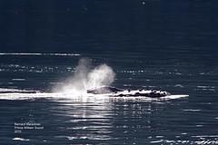 Humpback Whale_MG_4392 (bud_marschner) Tags: alaska whale humpback humpbackwhale princewilliamsound