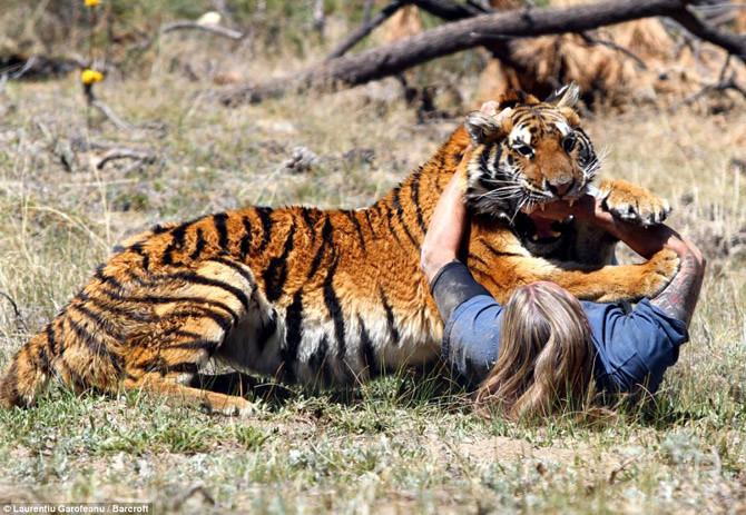 hổ tấn công