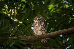 Spotted Owlet (Athene brama) (NatureStills) Tags: travel wild vacation india slr bird tourism nature birds animal fauna asian flying wings highresolution nikon rainforest asia southeastasia day natural outdoor dwarf wildlife small stock beak feathers nopeople visit aves tourist professional international jungle tiny micro owl tropical destination nikkor dslr teeny biology fareast bangladesh identify biological oldworld roost bengali organism owlet wildlifephotography spottedowlet athenebrama d810 sreemongol naturestills scotttrageser httpwwwnaturestillscom bangladeshpythonproject