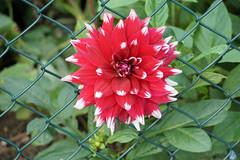 Stuck through the fence (Swaentje5) Tags: dahlia red white flower holland netherlands closeup fence crossing nederland rood wit borders hek bloem grenzen hff haarlemmermeer haarlemmermeersebos hoofdorp fencedfriday