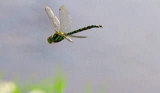 Southern Hawker flight (Explored)