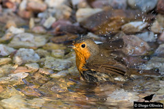 Almost out of water (Diogo O. (TheRocky41)) Tags: wild naturaleza bird portugal nature robin birds animal animals fauna europe european erithacusrubecula erithacus piscodepeitoruivo near lisboa lisbon wildlife natureza birding feathers nat birdsinportugal avesemportugal natura aves hide national ave bbc planet animales animaux geo animais ruivo birdwatching animalplanet europeanrobin perto geographic avesdeportugal animalia wonders avian pisco oiseaux nationalgeographic avifauna birdwatcher naturephotography selvagem peito hides natgeo penas passeriformes rubecula vidaselvagem chordata wildlifephotography biodiversidade muscicapidae birdsfromportugal wildwondersofeurope therocky41 therocky41fotos therocky41photos erithacusrubeculapiscodepeitoruivo