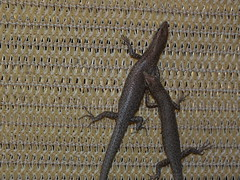 Scincidae>Cryptoblepharus Snake-eyed skink DSCF2777 (Bill & Mark Bell) Tags: animal fauna australia mating westernaustralia animalia exmouth reptilia chordata squamata scincidae cryptoblepharus snakeeyedskink taxonomy:class=reptilia taxonomy:kingdom=animalia taxonomy:phylum=chordata taxonomy:order=squamata geo:country=australia geo:state=westernaustralia taxonomy:family=scincidae geo:town=exmouth geo:lon=11425453egeolat2217752sgeoalt8m 11425453e2217752salt8m taxonomy:genus=cryptoblepharus taxonomycommonnamesnakeeyedskink
